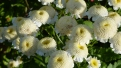 Bathurst blooms, Australia