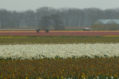 Bulbfields, Lisse - The Netherlands