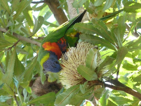 Lorikeet feeding on banksia flower, Sydney