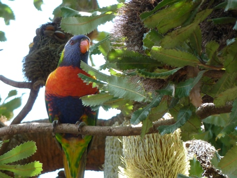Lorikeet in garden, Sydney