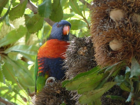 Lorikeet in Banksia tree,Sydney