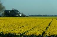 Bulbfields near Lisse, The Netherlands