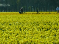 Cycling through bulb fields, The Netherlands