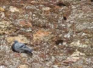 Roussillon- pigeon