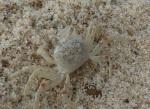 Sand Crab, Port Macquarie
