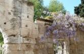 Wisteria, Arles