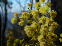 Wattle bloom