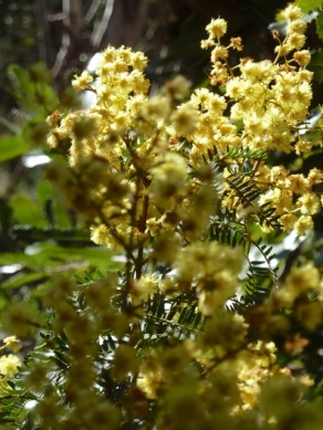 Wattle bouquet