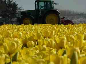 Yellow: Lisse, tulip field harvest, The Netherlands