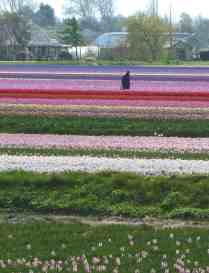 Tulip Inspection, Lisse, The Netherlands