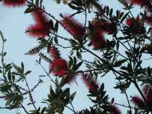 Sydney - red bottlebrush