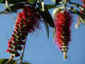 Bottlebrush, Sydney