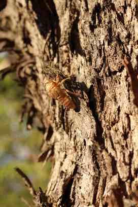 Sydney cicada