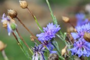 purple cornflowers