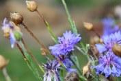purple cornflowers