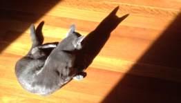 Sydney shadow cat
