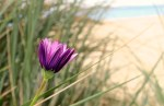 purple beach flower at Kingston, Tasmania