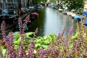 purple flowers, Amsterdam canal