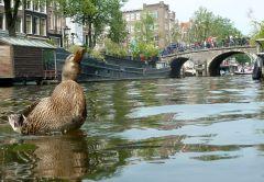 Happy duck in Amsterdam