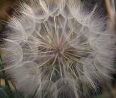 Australia - dandelion