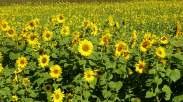 sunflowers Germany